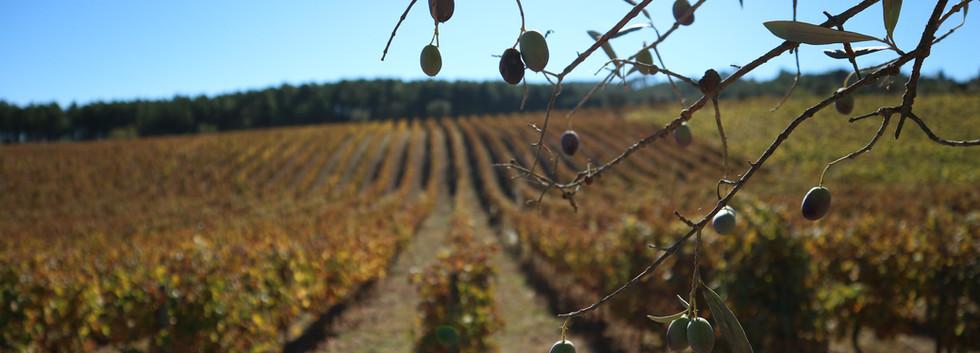 Quinta das Lamelas - Azeite - Olival - Olive tree - Oliveira