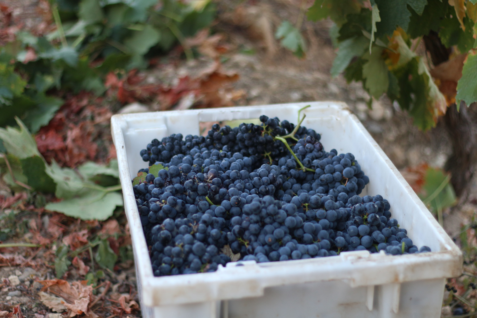 Quinta das Lamelas - Douro - Vindima - Harvest