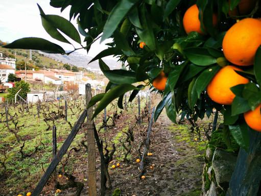 Quinta das Lamelas - Oranges
