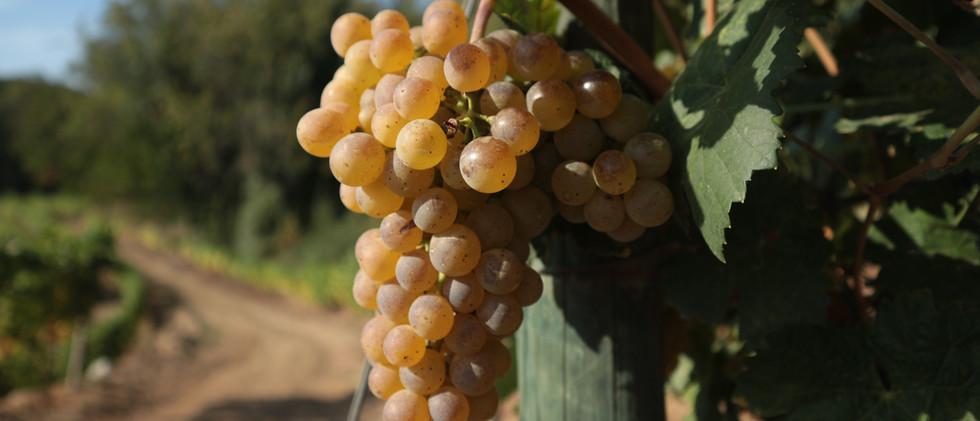 IMG_5514.jpgQuinta das Lamelas - Douro - White grape - casta branca