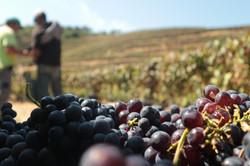 Quinta das Lamelas - Douro - vindima - harvest - grape - uva
