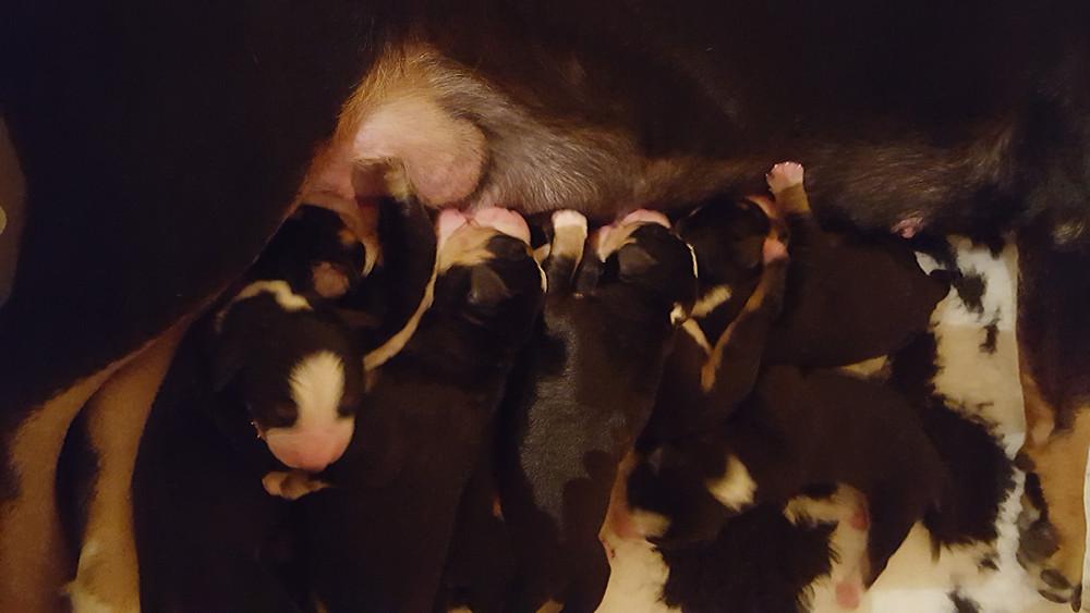 7 bébés entlebuch ! Bravo ma Tayna !