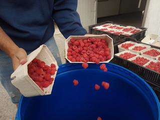 Jak pro Vás malinovici vyrábíme 2.díl Fermentace /kvašení malin/ aneb jak se mění ovocný cukr na alk