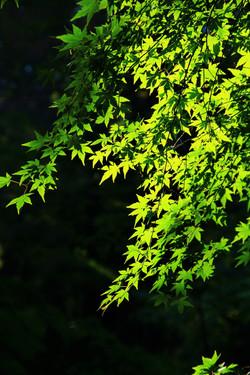 初夏 若草萌える頃 young leaves in summer