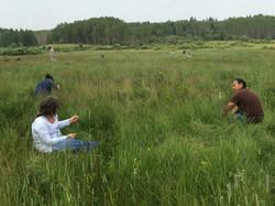 Sweetgrass Picking