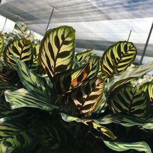 PEACOCK PLANT