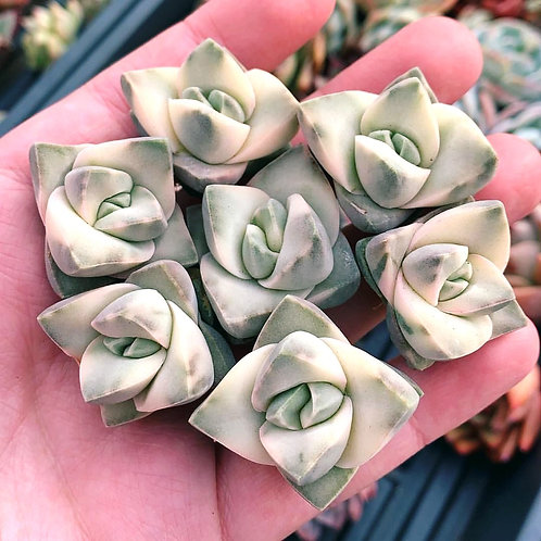 VARIEGATED CRASSULA MOONGLOW