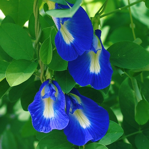 CLITORIA BUSH