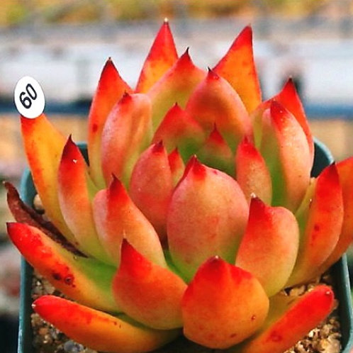 FLAME AGAVOIDES