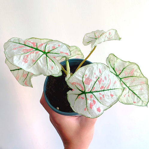 SYNGONIUM STRAWBERRY SPECKLE
