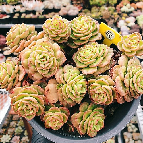 SEDEVERIA ROLLY CLUSTER LARGE