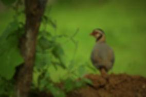 Arabian Partridge