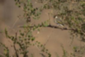 Arabian Golden Winged Grosbeak