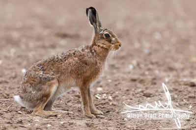 Amazing wild european hare close up sat in a arable field