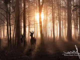 Deer in woods at sunrise in Norfolk England