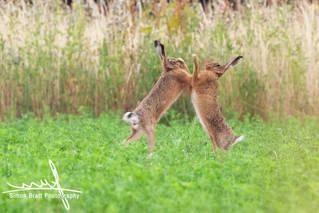Wild Hares Boxing 135 07202018.jpg