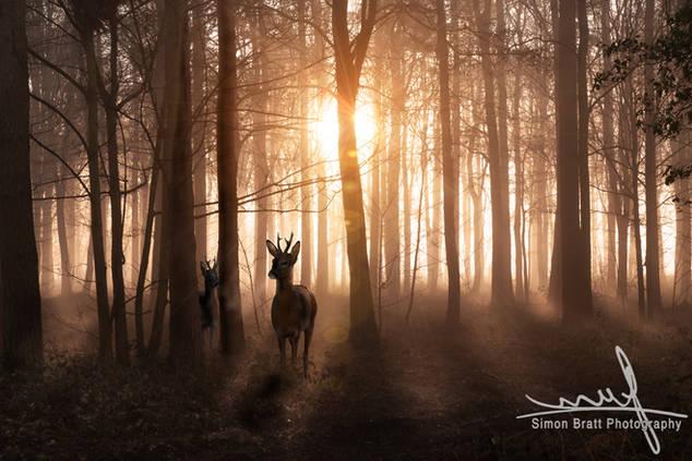 Deer in woods at sunrise in Norfolk Engl