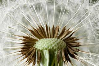 Inside a dandelion seed head macro