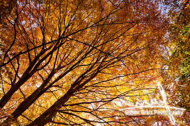 Stunning autumn English trees
