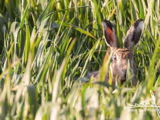 Wild Hare Intense Stare