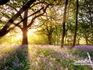 Amazing sunrise through bluebell forest