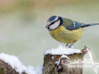 Stunning blue tit wild bird in the snow