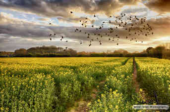 Rapeseed field at sunset with birds