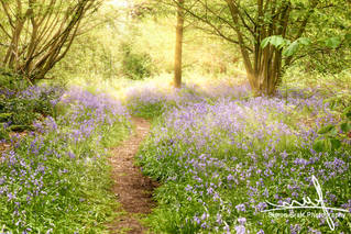 Path through bluebell forest at sunrise.