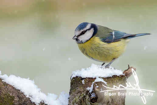Stunning blue tit wild bird in the snow