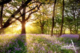 Amazing sunrise through bluebell forest.