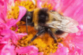 White tailed bumblebee macro sat on a pi