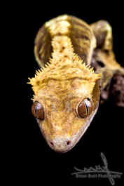 Reptile close up on black