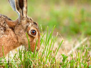 Wild hare in amazing close up detail