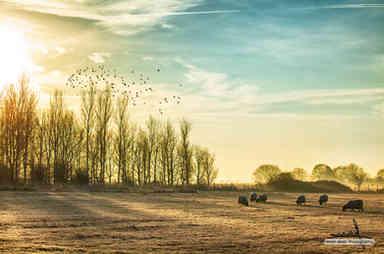 Sheep in a rural sunrise landscape