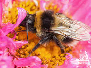 White tailed bumblebee macro sat on a pink Aster
