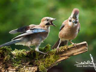 Young jay bird with parent close up