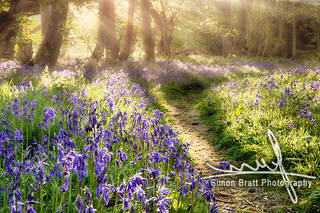 Enchanted bluebell forest and path.jpg