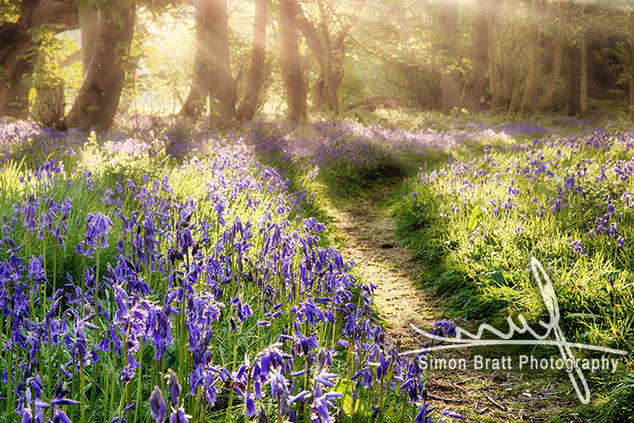 Enchanted bluebell forest and path