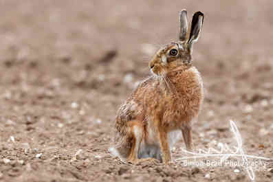 Stunning large wild brown european hare in the ploughed fields of Norfolk UK