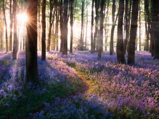 Bluebell woods path sunrise in Norfolk England