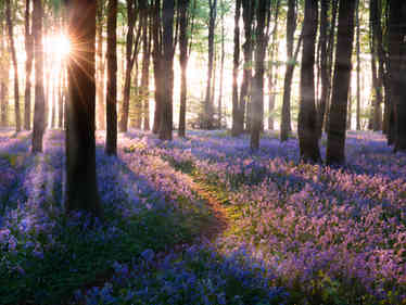 Bluebell woods path sunrise in Norfolk England