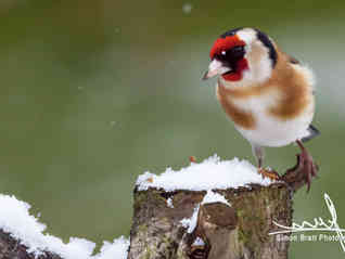 Gold finch sat on a snowy log in winter