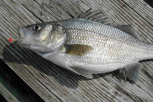 White Perch (INSTANT ORDER)