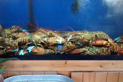 CLICK ON PHOTO - 2 lb + Live Maine Lobster