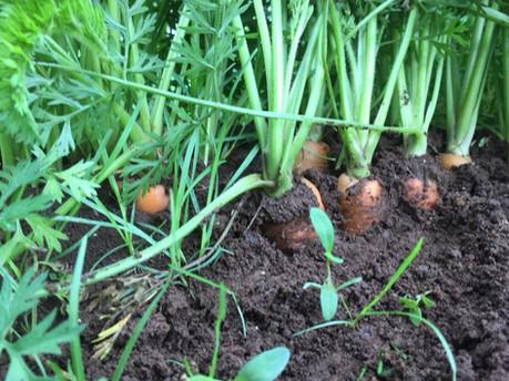 carrots7