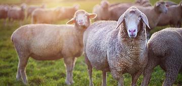 Sheep_edited.jpg