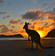 Cape Hillsborough Roo.jpg