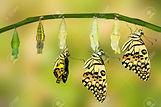 54230322-Transformation-de-Lime-Butterfl