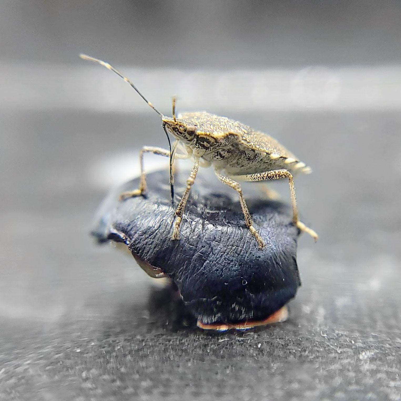 stinkbug.jpg