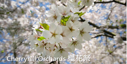 Cherryhill Orcahrds 櫻花祭